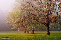 Trees in foggy meadow at sunrise<br /> Cades Cove<br /> Great Smoky Mountains N.P. TN.