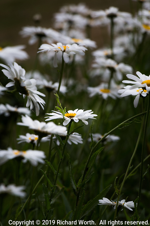 White petals and yellow center of a daisy viewed from the side surrounded by daisies.