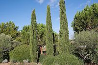Echte Zypresse, Trauerzypresse, Säulenzypresse, Italienische Zypresse, Mittelmeer-Zypresse, Cupressus sempervirens, Mediterranean Cypress, Italian Cypress, Tuscan Cypress, Graveyard Cypress, Pencil Pine