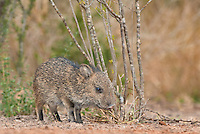 650520221 a baby javelina or collared peccary dicolytes tajacu on beto gutierrez ranch hidalgo county texas united states
