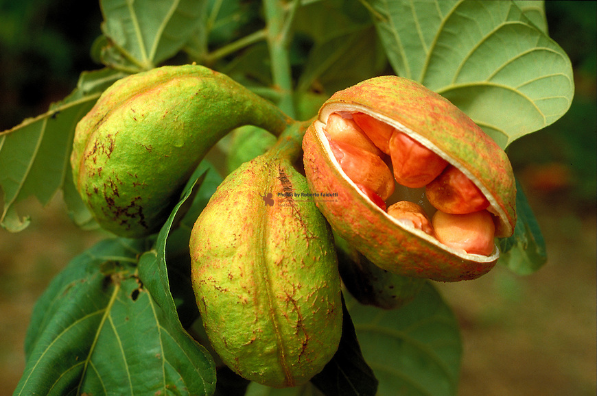 This plant is used against fever, diarrhoeae, pain and different types of wounds