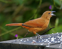 Female white-lined tanager