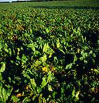 Sugar beet crop growing in a field