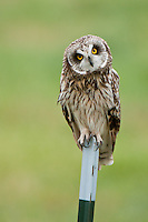Short-eared Owl on post, Oregon