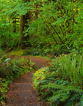 Olympic National Park, WA<br /> A pathway along the Hall of Mosses Trail bordered by the lush spring greens of the rain forest understory - located in the Hoh Rain Forest
