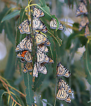 monarch butterfly cluster in Santa Cruz