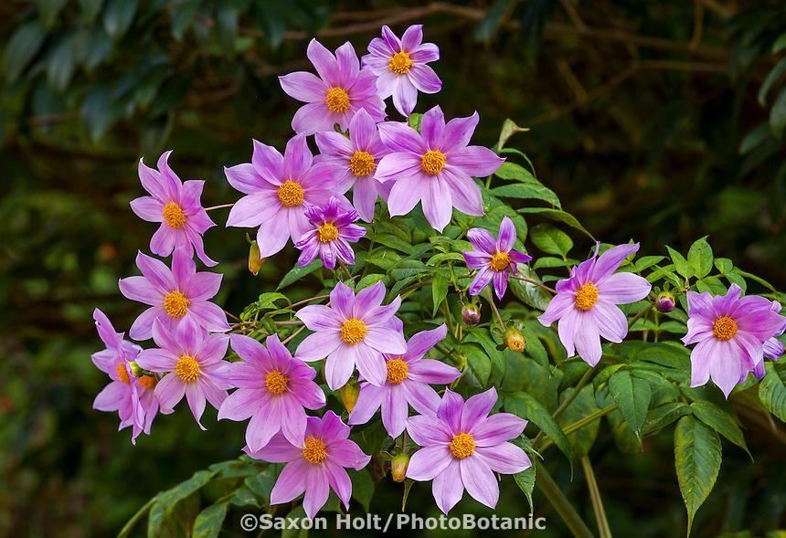 Dahlia australis flowering in Mesoamerican Cloud Forest section in San Francisco Botanical Garden