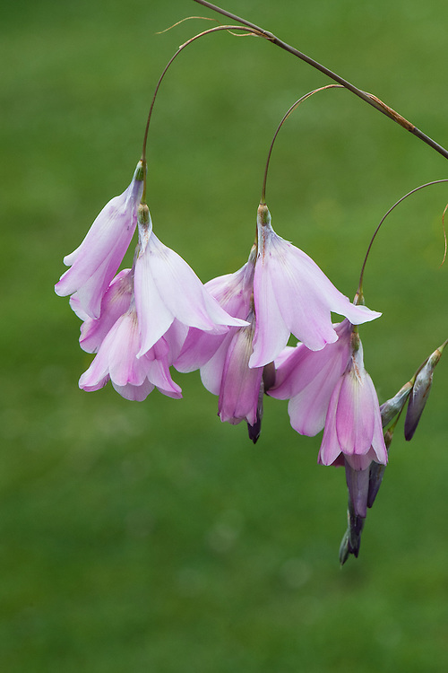 Dierama pulcherrimum &lsquo;Venus&rsquo; Fishing Rod&rsquo;, early July. &quot;Rosy lilac-mauve bells, sometimes paler, are<br /> elegantly held on wand like arching stems. Hearty, retentive soil gives best results. 1.5m.&quot; [Marchants Hardy Plants]