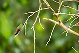 BELIZE, Punta Gorda, Toledo, Belcampo a hummingbird is perched on a branch outside of Belize Lodge and Jungle Farm