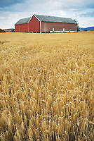 Field of grain in Melhus Valley near Trondheim, Norway