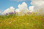 Wildflowers on hillside.Daisy, iris, indian paintbrush and monkey flowers.