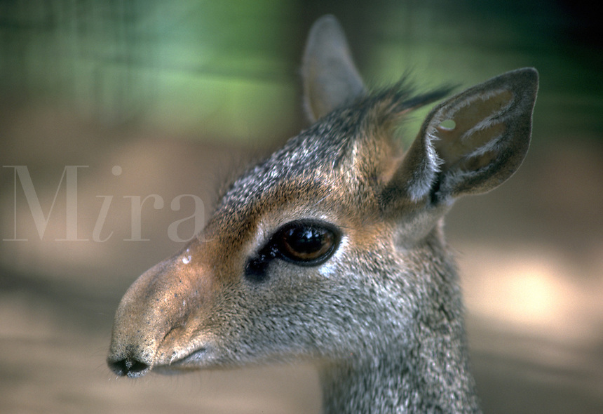 African, wild animal. While on an African Safari, the photographer captured the image of a small Suni seen on the Masai Mara. Masai Mara, Kenya.