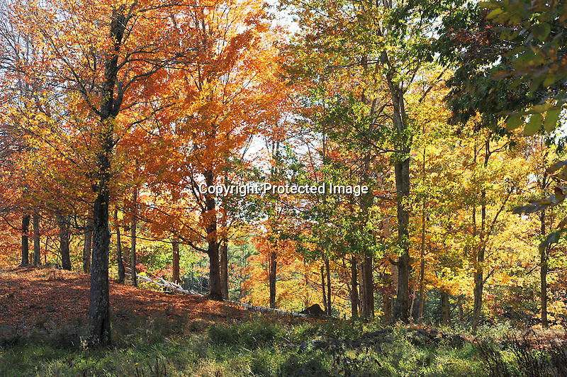 Sun Shining on Woods with Colorful Fall Foliage in New Hampshire USA