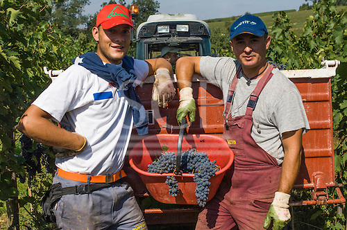 Tuscany, Italy. Grape growing. Two men with a bucket of red grapes by a tractor in a vineyard.