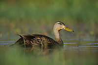 Mottled Duck (Anas fulvigula), male, Fennessey Ranch, Refugio, Corpus Christi, Coastal Bend, Texas Coast, USA