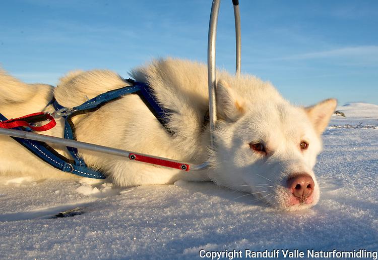 Grønlandshund i pulkdrag. ----- Greenland dog in harness.