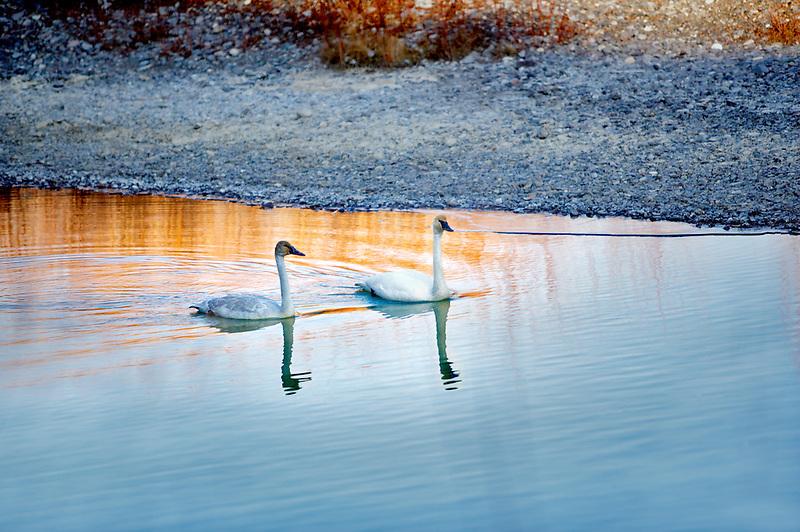 Adult Trumpeter Swans (Cygnus buccinator) . Owhyee River. Oregon