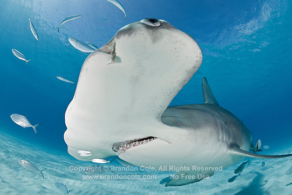 RR3192-D. Great Hammerhead Shark (Sphyrna mokarran), feeds on stingrays on the sand bottom, broad head called cephalofoil and has special sensory cells on underside. Bahamas, Atlantic Ocean.<br /> Photo Copyright &copy; Brandon Cole. All rights reserved worldwide.  www.brandoncole.com