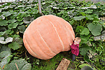 Pictured:  Martha Syrett, aged 1, alongside her Grandad's giant pumpkin.<br /> <br /> Twin brothers have managed to grow a pumpkin weighing in at more than 900 kilograms (142 stone) - heavier than a Smart Car.  Boasting a circumference of 18ft and with a stem which is 2ft thick it took around 100 days to grow from the size of a golf ball, at a rate of about 20lbs a day.<br /> <br /> Ian and Stuart Paton, 58, have now grown 12 pumpkins weighing over 2,000lbs - more than anyone else in the world - and have now grown over 1,000 since they started growing the squash at the age of 11.  The Paton brothers, from Lymington, Hants, who are horticulturalists by trade, would spend up to five hours a day in their greenhouse pumping between 100 and 150 gallons of water a day into the giant squash.  SEE OUR COPY FOR DETAILS.<br /> <br /> © Morten Watkins/Solent News & Photo Agency<br /> UK +44 (0) 2380 458800
