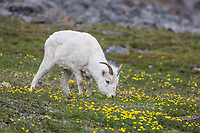 Dall sheep ewes graze on the tundra vegetation, decorated by ross avens, in the Brooks Range, Alaska.