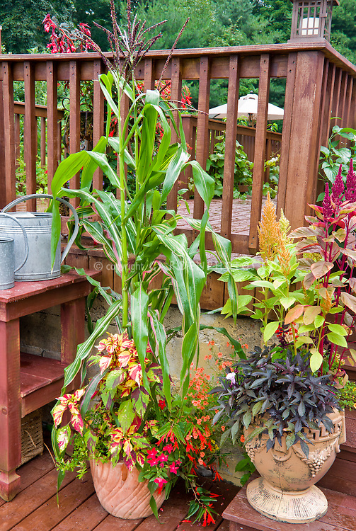 Mixture of container garden pot types, with vegetable corn growing, variegated foliage annuals coleus and sweet potato vine, flowering feather celosia annuals, begonias, calibrachoa, near potting bench with watering cans galvanized steel, deck steps, two tiered