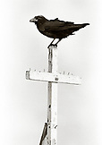 MEXICO, Baja, Raven standing on cross of church (B&W)