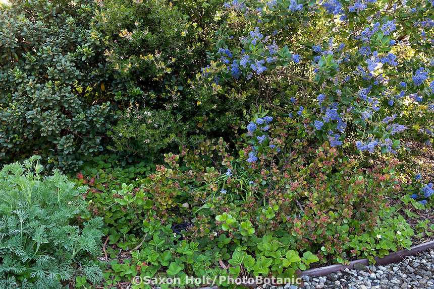 Shrub border with drought tolerant Coffeeberry, Arctostaphylos, Ceanothus, and Ribes in Southern California native plant garden