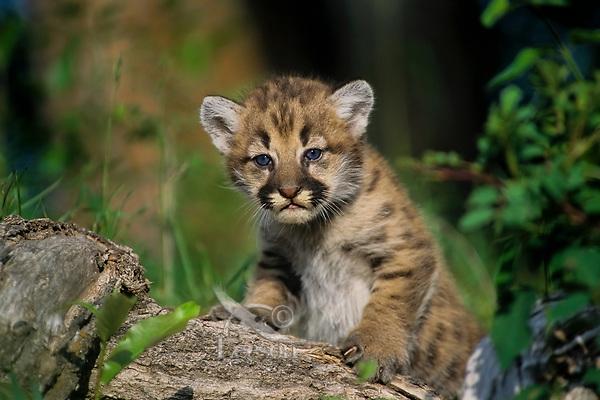 Mountain Lion cub or Cougar Kitten (Puma concolor)
