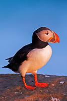 bird, Atlantic puffin, Fratercula arctica, Iceland, NW Fjords, Latrabjarg, Atlantic