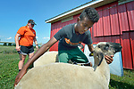 Robel Haile, a 13-year old resettled refugee from Ethiopia, braces his sheep on a farm in Linville, Virginia, on July 17, 2017. In the background, Holly Mumaw inspects another animal's posture. Mumaw volunteers to help Haile and other refugee youth, resettled in the area by Church World Service, prepare to show sheep and goats in a county fair.<br /> <br /> Photo by Paul Jeffrey for Church World Service.