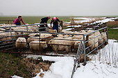 Raard, 20 januari 2010 - Schapenhouder Gerrit Kingma uit Hantumeruitburen scheidt zijn 115 schapen van de 50 schapen van zijn buurman. De schapen liepen op twee weilanden aan de Birdaarderstraatweg te Raard (bij Dokkum). Door het ijs op de sloten waren de schapen bij elkaar gekomen. Dochters Gonnie en Eelkje helpen hun vader een handje.<br /> <br /> Raard, January 20, 2010 - Sheep farmer Gerrit Kingma from Hantumeruitburen separates his 115 sheep from 50 sheep of his neighbor. The sheep were on two fields at the Birdaarderstraatweg in Raard (in Dokkum). Because the ice in the ditches the sheep were together. Daughters Connie and Eelkje help their dad a hand.