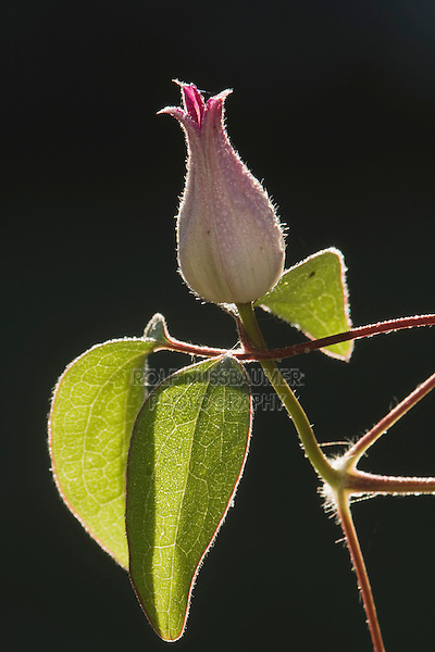 Clematis Vine (Clematis sp.), blooming, Angier, North Carolina, USA
