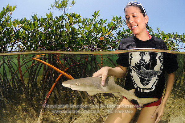 qa33027-D. woman (model released) from Bimini Biological Field Station inspects young Lemon Shark (Negaprion brevirostris) captured in mangroves. Bahamas, Atlantic Ocean..Photo Copyright © Brandon Cole. All rights reserved worldwide.  www.brandoncole.com..This photo is NOT free. It is NOT in the public domain. This photo is a Copyrighted Work, registered with the US Copyright Office. .Rights to reproduction of photograph granted only upon payment in full of agreed upon licensing fee. Any use of this photo prior to such payment is an infringement of copyright and punishable by fines up to  $150,000 USD...Brandon Cole.MARINE PHOTOGRAPHY.http://www.brandoncole.com.email: brandoncole@msn.com.4917 N. Boeing Rd..Spokane Valley, WA  99206  USA.tel: 509-535-3489