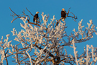 Two bald eagles sit perched in a hoarfrost covered cottonwood tree on a sunny day in the Matanuska Valley near Palmer, Alaska.   Southcentral Alaska<br /> <br /> Photo by Jeff Schultz/SchultzPhoto.com  (C) 2019  ALL RIGHTS RESERVED