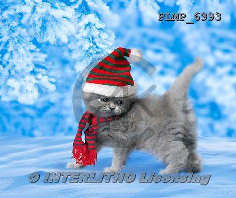 Marek, CHRISTMAS ANIMALS, WEIHNACHTEN TIERE, NAVIDAD ANIMALES, photos+++++,PLMP6993,#XA# cat  santas cap,