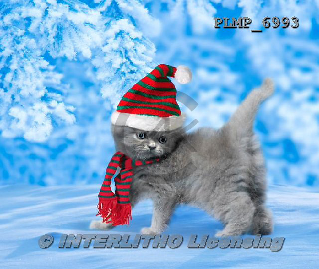 Marek, CHRISTMAS ANIMALS, WEIHNACHTEN TIERE, NAVIDAD ANIMALES, photos+++++,PLMP6993,#XA# cat  santas cap,