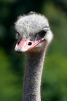 An ostrich coyly eyes the camera. Photographed 5/07