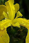 Raindrops on a yellow iris blossom, Washington county, Oregon