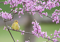 American Goldfinch,  in Red Bud tree, New Jersey