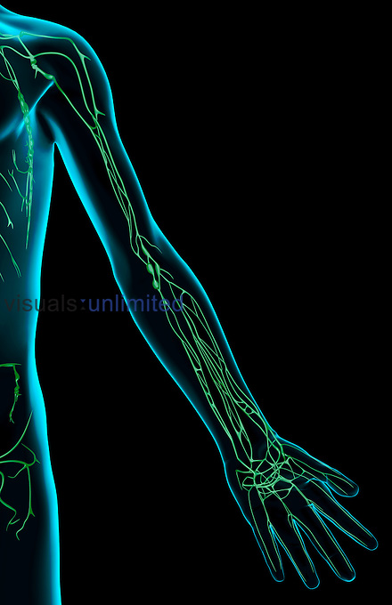 An anterior view of the lymph supply of the left upper limb. The surface anatomy of the body is semi-transparent and tinted blue. Royalty Free