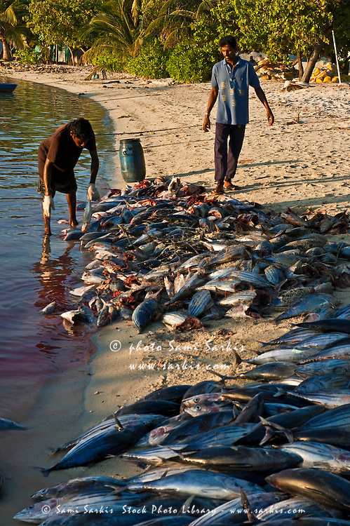 Fishermen cutting the heads off tuna on the beach at sunset, Maldives.