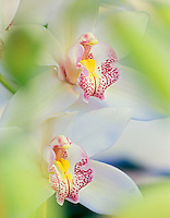 Cymbidium orchid. Oregon Coast Greenhouses.