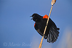 Red-winged Blackbird (Agelaius phoeniceus) male calling and displaying, perched on cattail seedhead, Montezuma National Wildlife Refuge, New York, USA<br /> Slide # B163-561