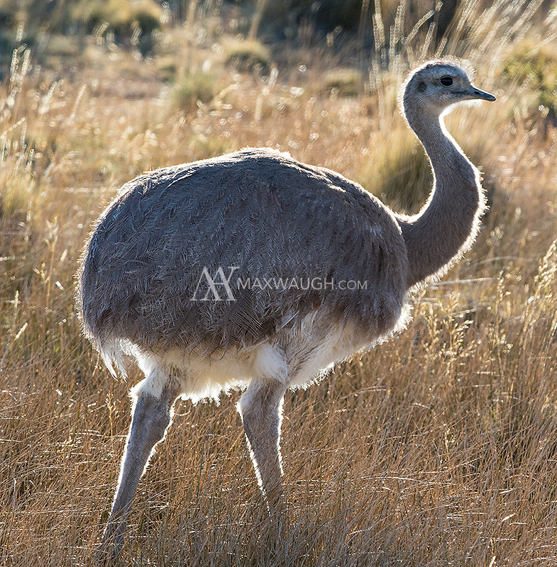 Darwin's rhea is one of the world's tallest birds.