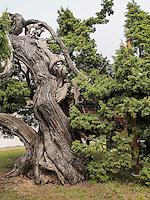 Chinesischer Wacholder im Changdeokgung Palast, Seoul, Südkorea, Asien, UNESCO-Weltkulturerbe<br /> Chinese juniper inside palace Changdeokgung,  Seoul, South Korea, Asia UNESCO world-heritage