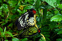 The Cairns Birdwing (Ornithoptera euphorion) is Australia's largest endemic butterfly species, with females reaching a wingspan of up to 16 cm. Males are usually a few centimeters smaller. A closely allied species, the New Guinea or Priam's Birdwing (Ornithoptera priamus) reaches 19 cm and is the largest butterfly species found in Australia, but it is not endemic. Cairns Birdwings are found southwards from Mount Webb and Cooktown to Mackay in Queensland. Favoured habitat is primary rainforest, although the species will breed readily in a home garden if the correct larval host plants are grown.