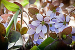 Round-lobed Hepatica (Anemone americana) in Durham, NH, USA, NH, USA
