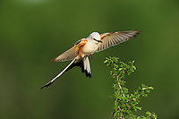 Scissor-tailed Flycatcher (Tyrannus forficatus), adult female in flight, Laredo, Webb County, South Texas, USA