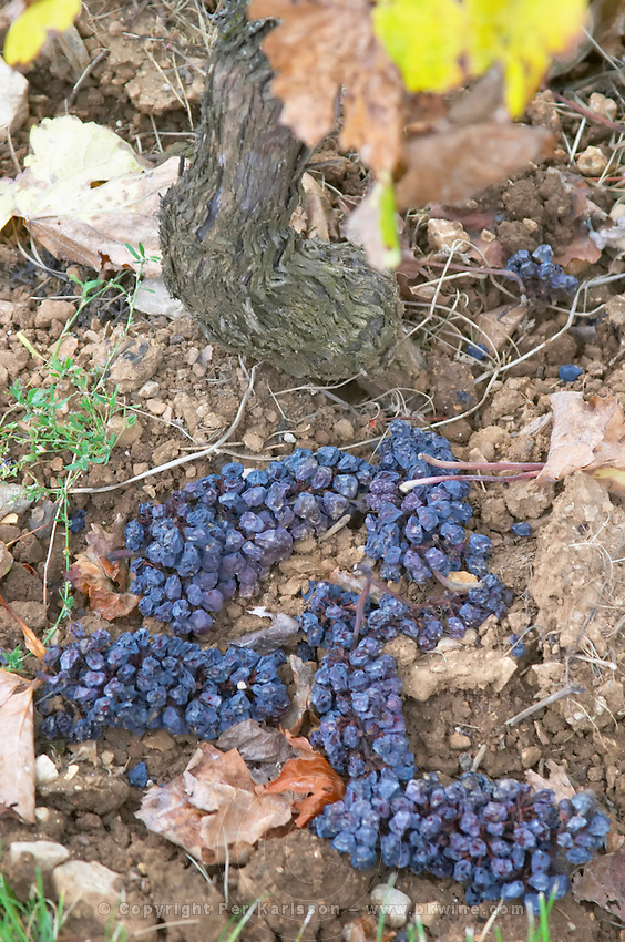 Green harvested grapes dumped on the ground. Pinot Noir. Clos des Langres, Domaine d'Ardhuy, Corgoloin, Cote de Nuits, d'Or, Burgundy, France