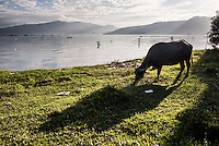 Water Buffalo, Lake Toba (Danau Toba), North Sumatra, Indonesia